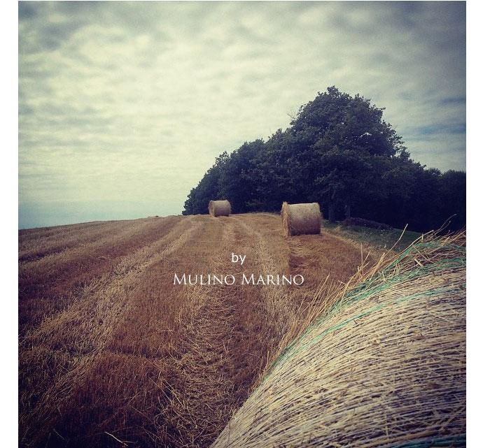 イタリアの小麦老舗メーカー ムリノ・マリノの小麦農場 (Farm in Italian old maker of flour mill Murino Marino)